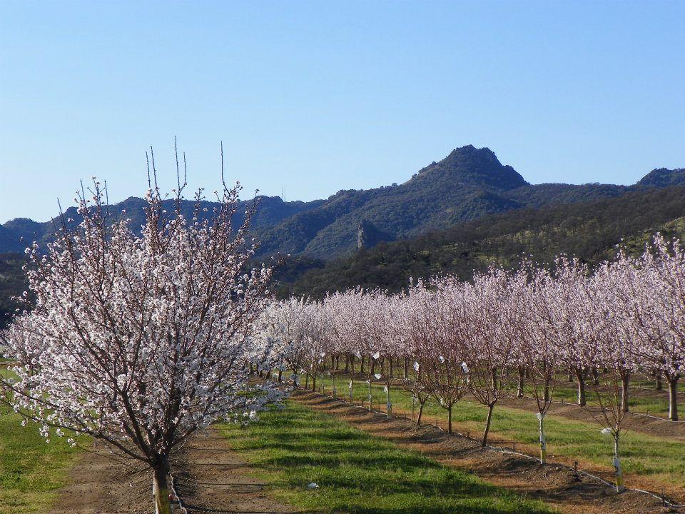 Almond Farmland in Turkey
